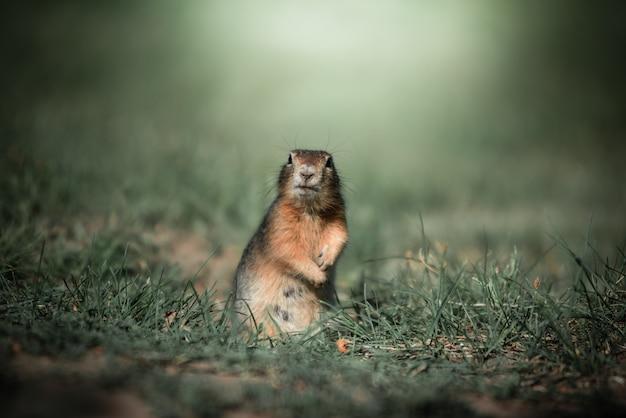 O esquilo está de pé na grama verde