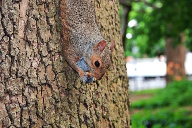 O esquilo na cidade de nova york, estados unidos