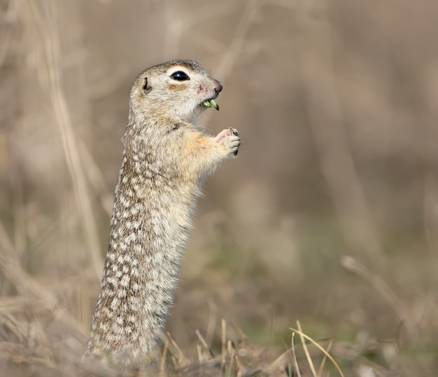 O esquilo ou souslik malhado (spermophilus suslicus) no chão comendo grama.