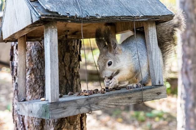 O esquilo senta no alimentador e mordisca as nozes