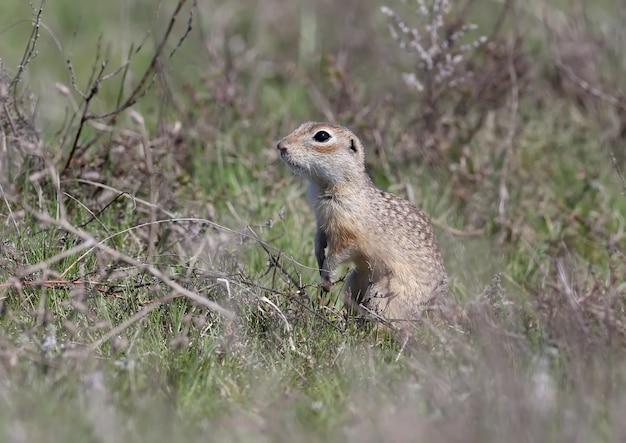 O esquilo-terrestre manchado fica em pose engraçada e se esconde na grama espessa do ano passado