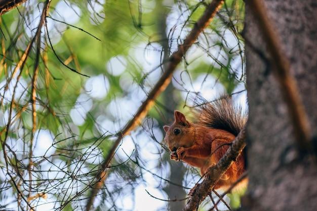 O esquilo-vermelho come nozes e senta-se no galho de uma floresta de abetos.