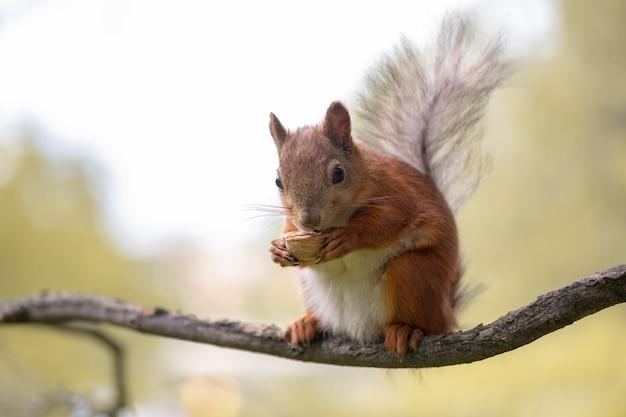 O esquilo-vermelho está comendo noz e sentado no galho da floresta