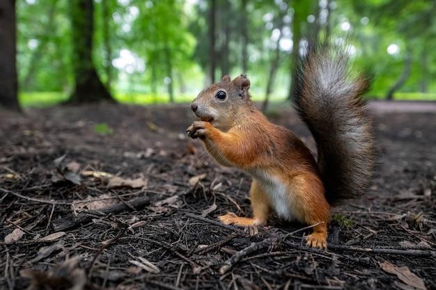 O esquilo-vermelho procura um lugar para esconder sua noz na madeira