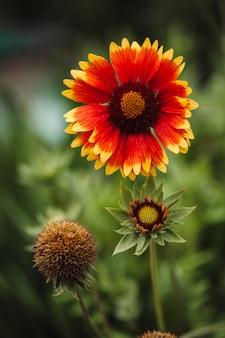 O estágio de crescimento da flor gaillardia pulchella
