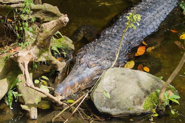 O falso gavial (tomistoma schlegelii), também conhecido como malayan gharial, sunda gharial e tomistoma. grande crocodilo na água.