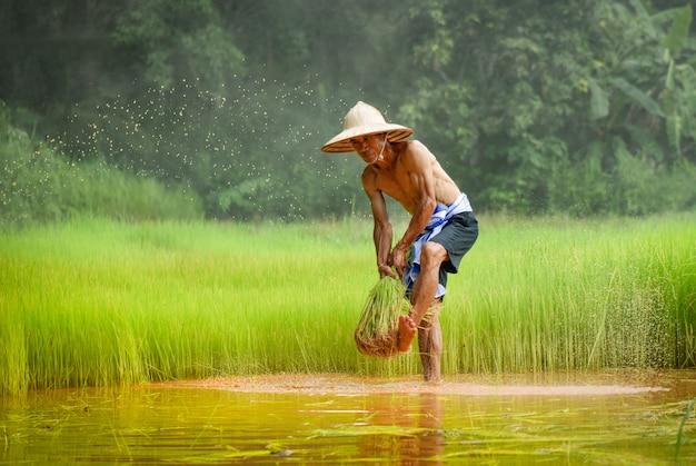 O fazendeiro do homem tailandês bateu o arroz que guarda na mão na agricultura do campo do arroz para plantar a terra