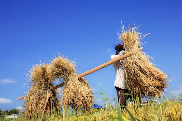 O fazendeiro estava embalando arroz no campo.
