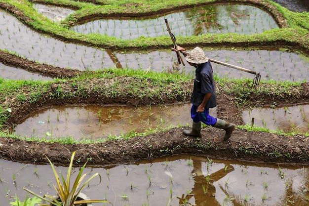 O fazendeiro plantando em uma fazenda de arroz em casca orgânico.
