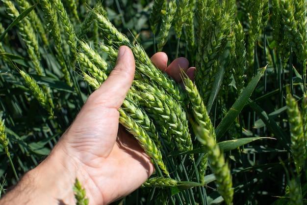 O fazendeiro segura na mão grandes espigas de trigo verde Foto Premium