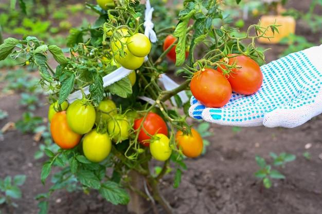 O fazendeiro verifica os tomates no jardim. tomate em um galho. mãos do fazendeiro. agricultura, jardinagem, cultivo de vegetais. fechar-se.