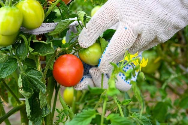 O fazendeiro verifica os tomates no jardim. tomate em um galho. mãos do fazendeiro. agricultura, jardinagem, cultivo de vegetais.