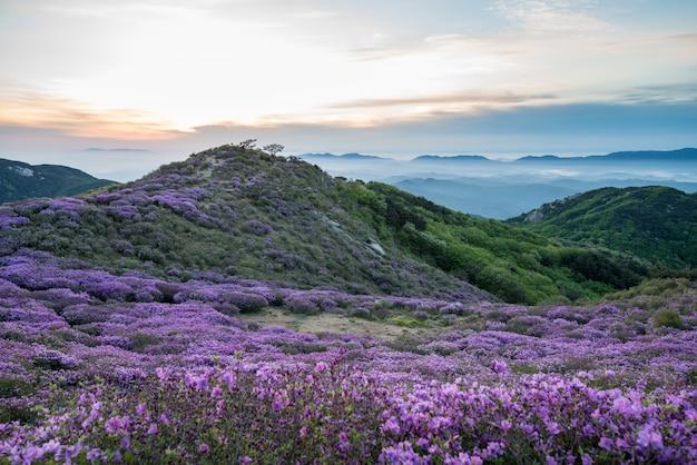 O festival de azaléias reais na montanha hwangmasan
