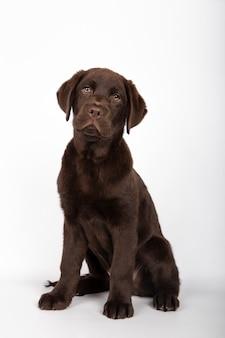 O filhote de cachorro de 3 meses de chocolate da raça coloriu labrador que senta-se olhando para a câmera no fundo branco.