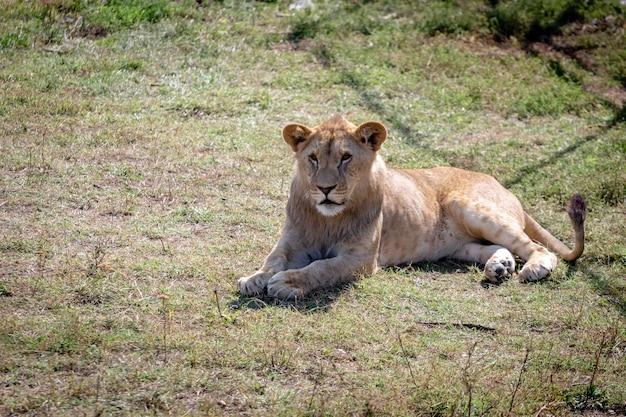 O filhote de leão estava deitado no chão, sem olhar para a câmera. vista de cima.