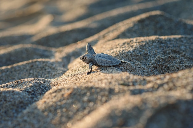 O filhote de tartaruga marinha recém-nascido rasteja ao longo da costa arenosa na direção do oceano para sobreviver