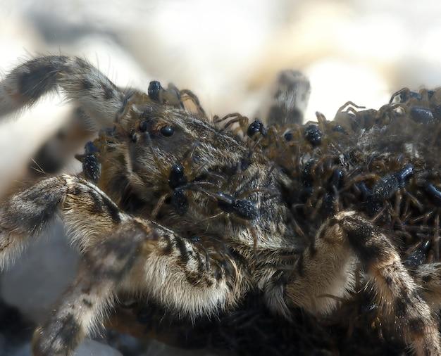 O filhote de uma tarântula de aranha em uma fêmea.