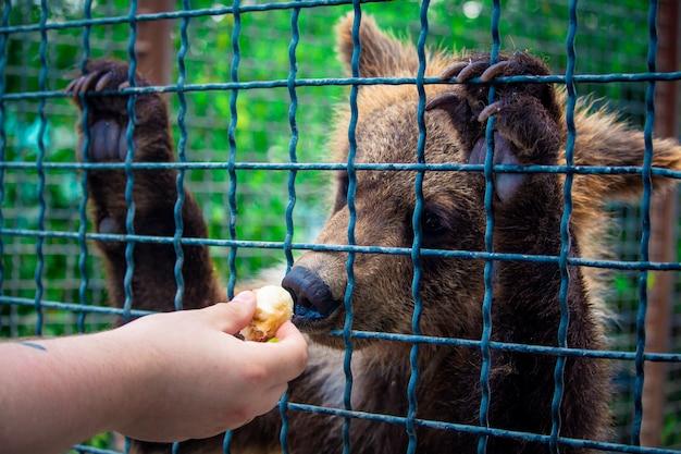 O filhote de urso come uma banana