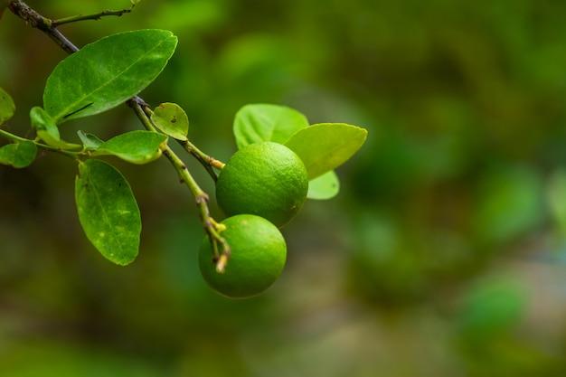 O fim acima de limões verdes cresce na árvore de limão em um citrino tailândia do jardim.