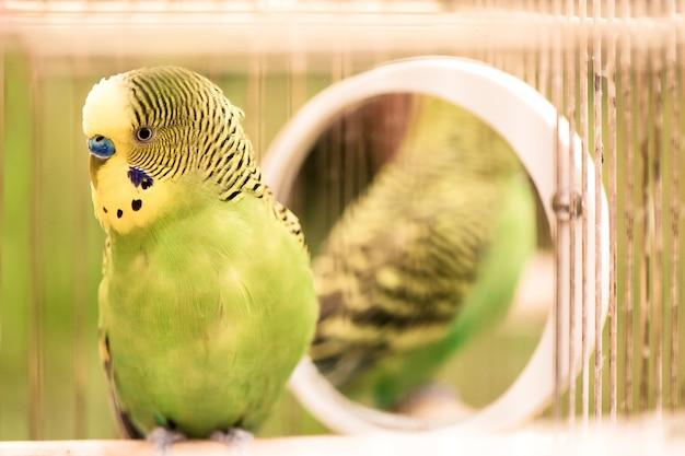 O fim verde do papagaio do periquito australiano senta-se acima na gaiola. periquito verde bonito.