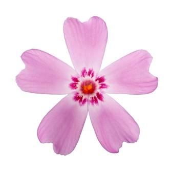 O flox de flor florescendo é macro fotografado. isolado na superfície branca.