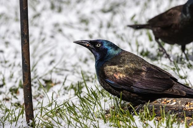 O foco seletivo atirou em dois corvos em um campo coberto de grama em um dia de neve