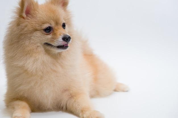 O foco seletivo da raça pequena pomeranian dog está procurando