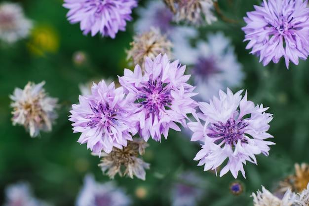 O foco seletivo na centáurea lilás floresce no verão no jardim. a vista do topo