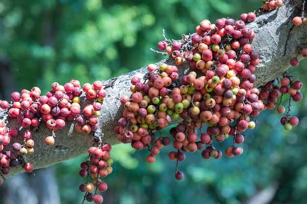 O fruto do ficus racemos