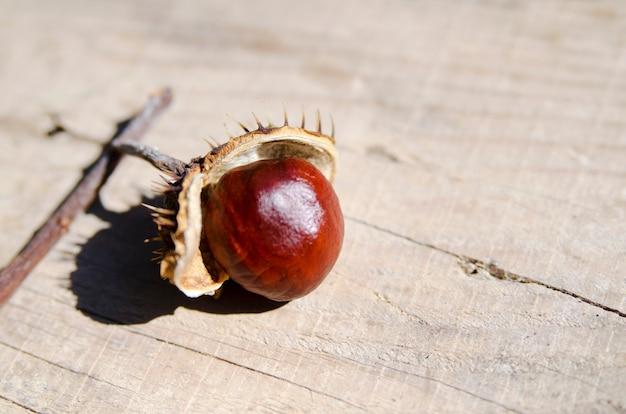 O fruto selvagem da castanha apenas cai para fora do escudo aberto na placa de madeira. fechar-se