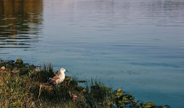 O fundo da natureza com a água do rio e o pássaro gaivota ficam na grama na costa rochosa