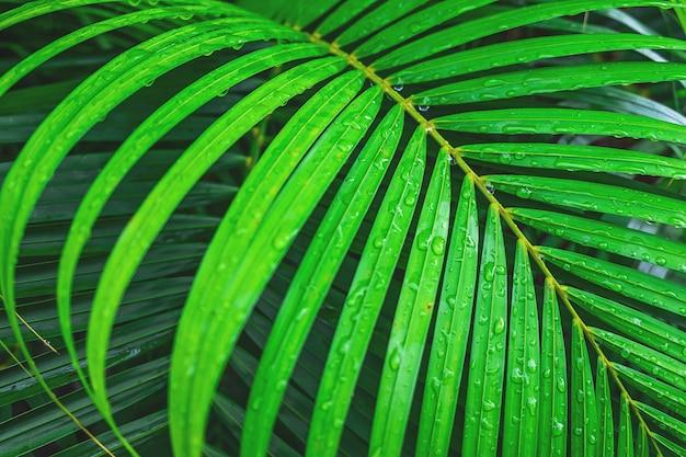 O fundo de folhas de coco com gotas de água na estação chuvosa