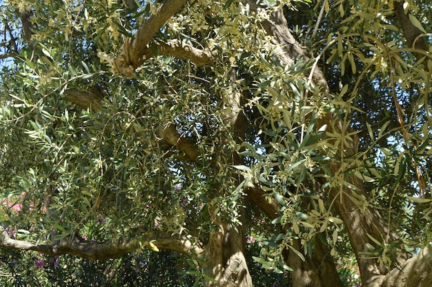 O fundo de uma oliveira florescente na primavera em um dia ensolarado
