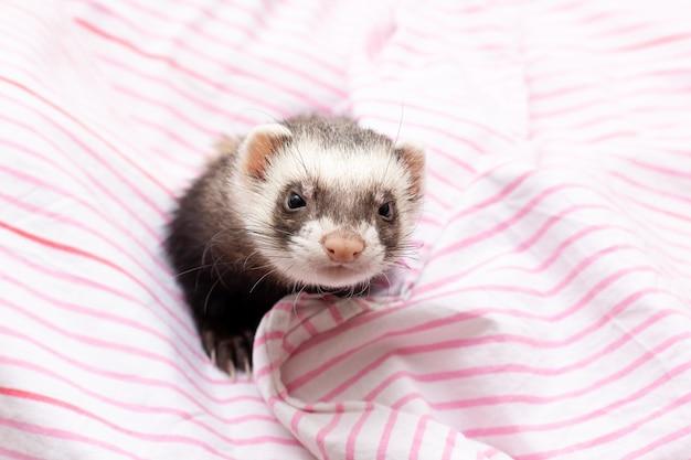 O furão fofo com lenço rosa