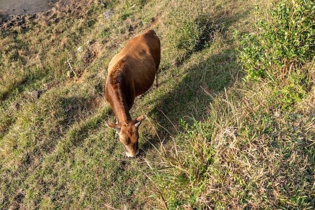 O gado no pasto está comendo grama