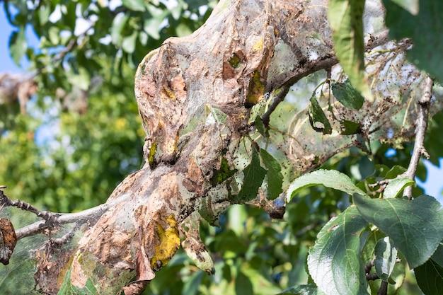O galho da árvore é densamente coberto por teias de aranha, em que as larvas de uma borboleta branca. a árvore é afetada por teias de aranha