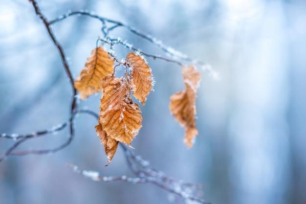O galho de uma árvore com folhas, cobertas de geada, sobre um fundo azul em um dia claro de inverno gelado