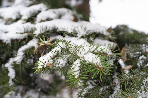 O galho do abeto está coberto de neve fresca do lado de fora