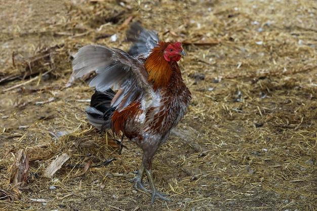 O galo de luta colorido é levantar e mostrar asas na fazenda na tailândia