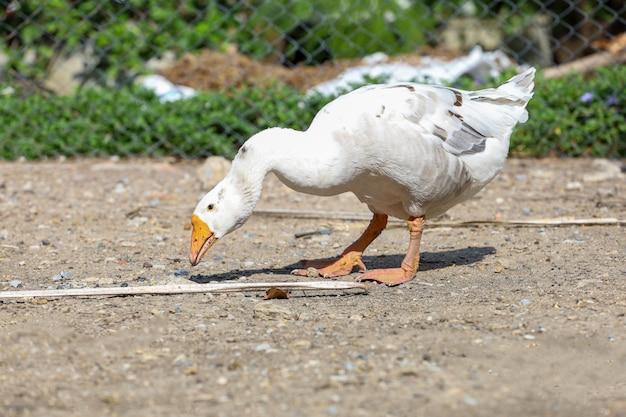 O ganso branco no jardim seco no verão na tailândia