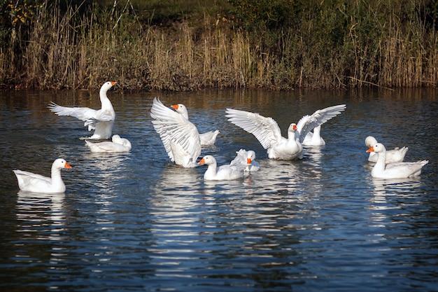 O ganso branco vai nadando na lagoa e batendo suas belas asas