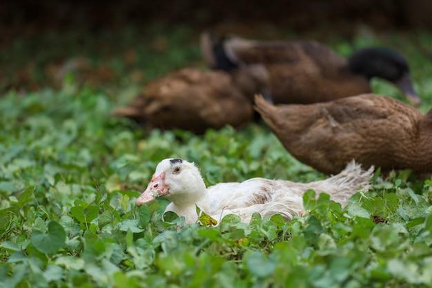 O ganso do bebê no pato do grupo senta e descansa no verão no jardim da fazenda, tailândia