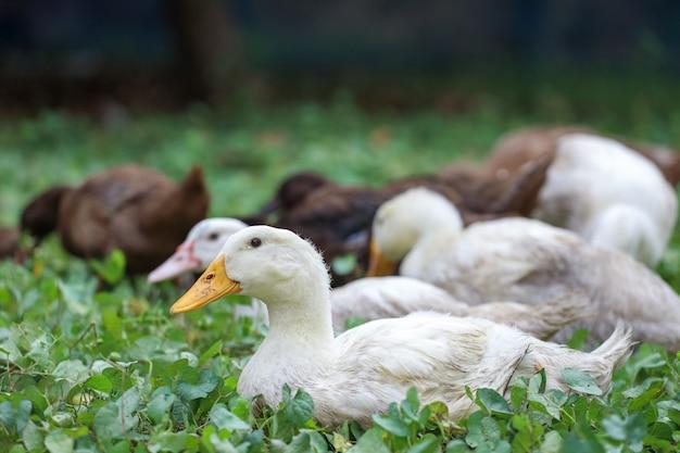 O ganso do bebê sentar e descansar no verão no jardim da fazenda, tailândia