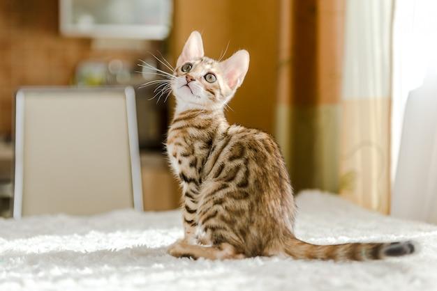 O gatinho bengala senta-se em cima da mesa da casa.