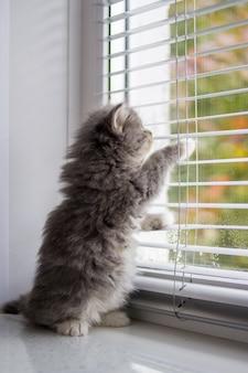 O gatinho cinzento macio do coon de persian maine pequeno senta suportes em seus pés traseiros pela porta e espera pelo proprietário.