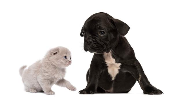 O gatinho conhece um cachorro buldogue francês sentado