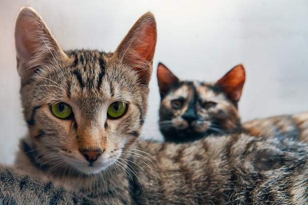 O gatinho de olhos verdes olha para a câmera do gato colorido deitado ao lado do gato malhado dois animais de estimação no branco