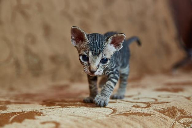 O gatinho don sphynx olha no quadro.