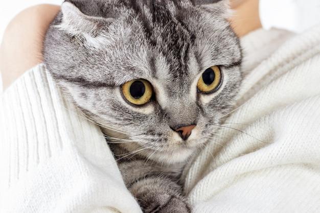 O gato bonito do gengibre dorme aquecendo-se na camisola de malha nas mãos do seu dono. gatinho escocês