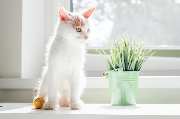 O gato branco e ruivo de 3-4 meses senta-se perto da janela. gatinho com pé com bandagem amarela em raios de sol próximo à planta de casa